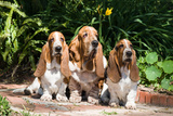 Basset Hounds Sitting on Garden Pathway Reproduction photographique par Zandria Muench Beraldo