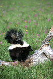Striped Skunk in Field of Flowers, Montana Lámina fotográfica por Richard and Susan Day
