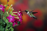 Ruby-Throated Hummingbird Male at Winged Tobacco, Illinois Photographic Print by Richard and Susan Day