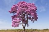 Brazil, Mato Grosso, the Pantanal. Pink Ipe Tree in a Field Impressão fotográfica por Ellen Goff