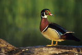 Wood Duck Male on Log in Wetland, Marion County, Illinois Reproduction photographique par Richard and Susan Day