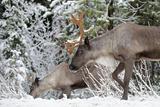 A Mountain Caribou, Endangered Reproduction photographique par Richard Wright