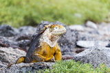 Ecuador, Galapagos Islands, Plaza Sur, Land Iguana,. Male Land Iguana Portrait Photographic Print by Ellen Goff