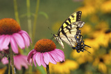 Eastern Tiger Swallowtail Butterfly on Purple Coneflower, Marion County, Illinois Reproduction photographique par Richard and Susan Day
