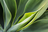 Hawaii, Maui, Agave Plant with Fresh Green Leaves Stampa fotografica di Terry Eggers