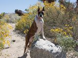 Boxer Standing by Garden Pathway Reproduction photographique par Zandria Muench Beraldo