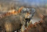 Dominant Male Green Iguana, Costa Rica Photographic Print by Tim Fitzharris