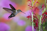 Ruby-Throated Hummingbird on Cardinal Flower, Marion County, Illinois Reproduction photographique par Richard and Susan Day