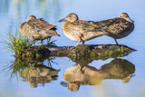 Wyoming, Sublette County, a Juvenile Cinnamon Teal Rest on a Small Mud Island in a Pond Reproduction photographique par Elizabeth Boehm
