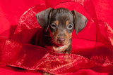 Doxen Puppy in Red Reproduction photographique par Zandria Muench Beraldo