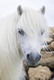 Shetland Pony on the Island of Unst, Part of the Shetland Islands in Scotland Fotografisk trykk av Martin Zwick