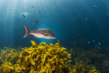 A Large Snapper Swims Above a Kelp Bed Off North Island, New Zealand Reproduction photographique par James White