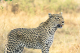 Botswana. Okavango Delta. Khwai Concession. Leopard Looks Out for Prey Photographic Print by Inger Hogstrom