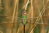Common Green Darner Female in Wetland, Marion County, Illinois Reproduction photographique par Richard and Susan Day