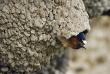 Cliff Swallow, Emerging from Nest Reproduction photographique par Ken Archer