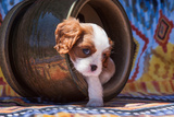 Cavalier King Charles Spaniel Puppy Reproduction photographique par Zandria Muench Beraldo