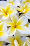 Hawaii, Maui, Plumeria in Mass Display Fotografisk trykk av Terry Eggers