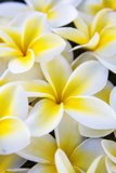 Hawaii, Maui, Plumeria in Mass Display Fotografie-Druck von Terry Eggers