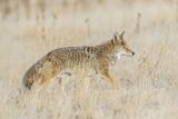 Utah, Antelope Island State Park, an Adult Coyote Wanders Through a Grassland Reproduction photographique par Elizabeth Boehm