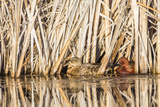 Wyoming, Sublette County, a Pair of Cinnamon Teal Hide in a Cattail Pond Reproduction photographique par Elizabeth Boehm