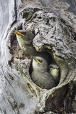 Montana, Three European Starling Chicks Beg for Food from their Nest Cavity Reproduction photographique par Elizabeth Boehm