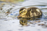 Wyoming, Sublette County, a Duckling Swims Amongst the Duckweed Reproduction photographique par Elizabeth Boehm