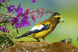 Evening Grosbeak Foraging on the Ground Reproduction photographique par Richard Wright