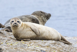 Harbor Seal on the Coast of the Shetland Islands. Scotland Fotografie-Druck von Martin Zwick