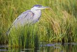 Wyoming, Sublette County, a Juvenile Great Blue Heron Forages for Food Reproduction photographique par Elizabeth Boehm