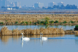 Two Male and One Female Tundra Swans Swimming , the Background Impressão fotográfica por John Alves