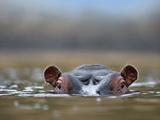 Hippopotamus Half-Submerged, Kenya, Africa Lámina fotográfica por Tim Fitzharris