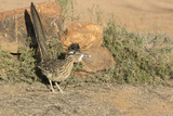 Arizona, Amado. Greater Roadrunner with Lizard Reproduction photographique par Jaynes Gallery