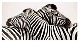 Zebras in love Affiche par  Anonymous