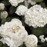 Ebony Flowers Giclée-tryk af Alan Lambert