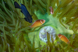 A Threespot Damselfish Swims Near a Trio of Pink Anemonefish in Papua New Guinea's Kimbe Bay Reproduction photographique par David Doubilet