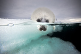 From a Greatly Diminished Ice Pack, a Harp Seal Pup Watches its Mother Swim Underwater Fotografisk tryk af David Doubilet