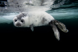 A Harp Seal Pup Learns to Swim in the Gulf of Saint Lawrence Reproduction photographique par David Doubilet