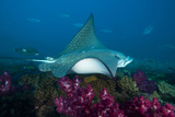 A Manta Ray Cruises over the Yongala Shipwreck Fotografie-Druck von David Doubilet