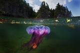 A Lion's Mane Jellyfish Drifts in Bonne Bay Fotografie-Druck von David Doubilet