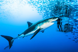 Female Great White Shark, Carcharodon Carcharias, Swimming Near a Diving Cage Fotografie-Druck von David Doubilet
