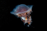 Portrait of a Lion's Mane Jellyfish, Cyanea Capillata, with a Butterfish Caught in its Tentacles Fotografie-Druck von David Doubilet