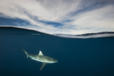 A Grey Reef Shark Swims in Kimbe Bay Reproduction photographique par David Doubilet