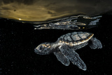 A Critically Endangered Hawksbill Sea Turtle Hatchling Paddles Away from Shore Fotografie-Druck von David Doubilet