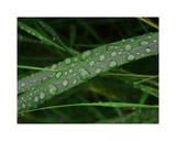 Rain drop beach grass