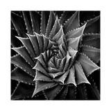 Succulent I Giclee Print by Mia Jensen