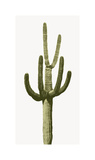 Saguaro III
