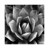 Succulent II Giclee Print by Mia Jensen