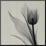 Tulip Mounted Print by Marianne Haas