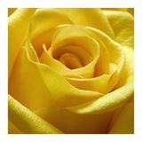 Gul rose Plakater af  PhotoINC Studio