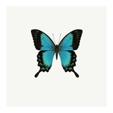 Blue Butterfly Posters by  PhotoINC Studio